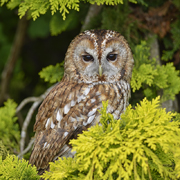 Tawny Owl In Conifer