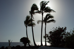 Palm Trees in Tenerife (2)