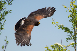 Through The Gap (Harris Hawk)